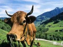 如何确定养牛中的育肥目标