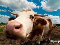 养牛中什么叫做精饲料酸中毒