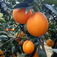 湖北橙子批发招商