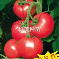 蕃茄种子:欧曼琦F1
