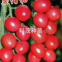蕃茄种子:盈佰和