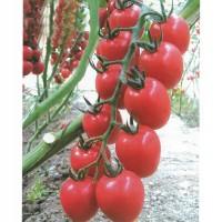 山东西红柿种子|哪里有批发西红柿种子