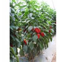 尖椒种子价格-买尖椒种子就到寿光圣日蔬菜良种