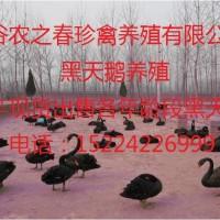 黑天鹅养殖