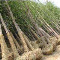 供应白果树和银杏树 中国广西 银杏苗与白果苗