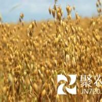 大燕麦粉 裸燕麦粉 燕麦熟粉