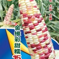 供种基地批发彩甜糯玉米种子——金维彩甜糯15号