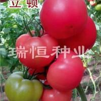 哪里购买西红柿种子|山东早春西红柿种子