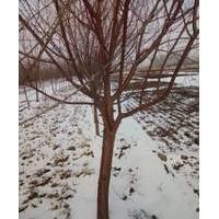 山桃树玫规格、丛生山桃树、山西山桃树产地供应商
