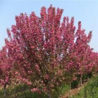 北美海棠厂家-北美海棠、公司、企业 - 农商网平台