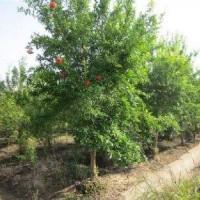 供应石榴树、3-20公分石榴树、运城石榴树、批发石榴树