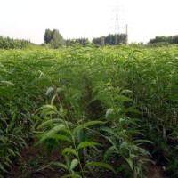 供应巴旦木苗、嫁接巴旦木苗、批发新品种巴旦木成品苗