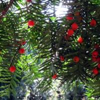 供应运城红豆杉、曼地亚红豆杉、1-3米红豆杉批发市场