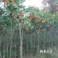 星汉园林牌3-8公分桂花树、彩叶桂花树、金桂、丹桂花树